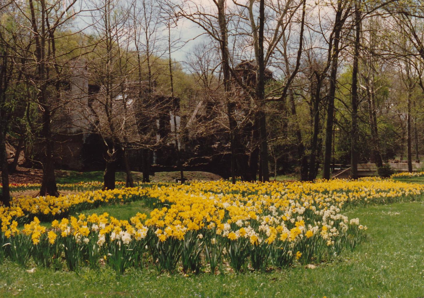 The Ruins, Daffodil Meadow